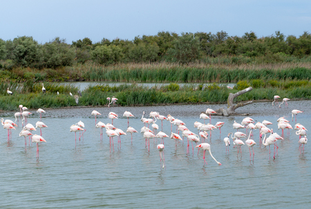 Group of pink flamingos in the lake. Region Camargue, France Stock Photo