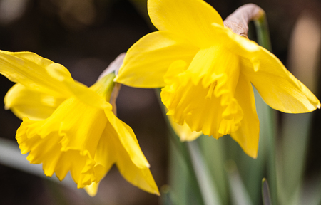 Bunch of Yellow Daffodils. Beautiful Spring Flowers in The Public Garden Stock Photo