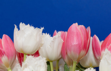 Beautiful pink and white tulips, isolated on blue background. Amazing spring flowers