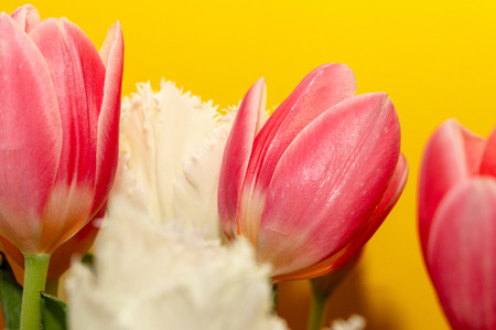 Beautiful pink and white tulips, isolated on yellow background. Amazing spring flowers