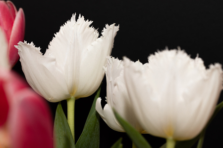 Beautiful pink and white tulips, isolated on black background. Amazing spring flowers