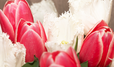 Beautiful pink and white tulips, isolated on white background. Amazing pring flowers