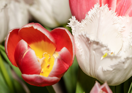 Beautiful pink and white tulips. Amazing spring flowers