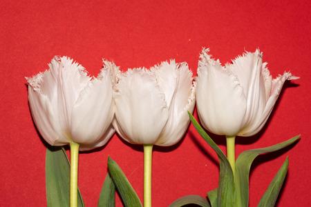 Beautiful white tulips isolated on red background. Studio shot Banco de Imagens