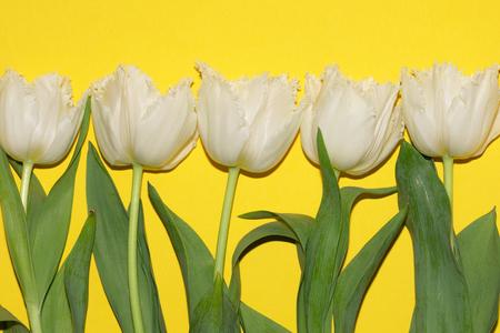 Beautiful white tulips isolated on yellow background. Studio shot Banco de Imagens