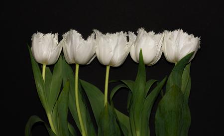 Beautiful white tulips isolated on black background. Studio shot