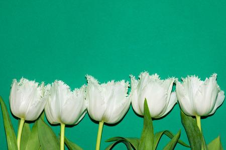 Beautiful white tulips isolated on green background. Studio shot Banco de Imagens