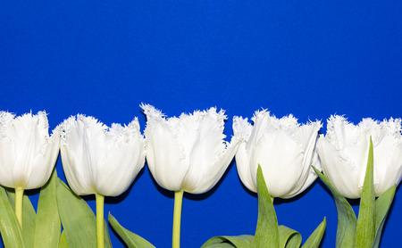 Beautiful white tulips isolated on blue background. Studio shot