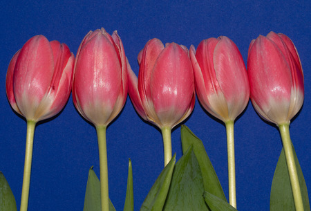 Beautiful five pink tulip flowers isolated on blue background. Studio shot