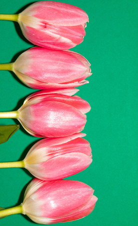 Beautiful five pink tulip flowers isolated on green background. Studio shot Banco de Imagens