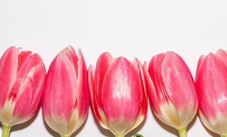 Beautiful five pink tulip flowers isolated on white background. Studio shot Banco de Imagens