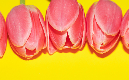 Beautiful five pink tulip flowers isolated on yellow background. Studio shot