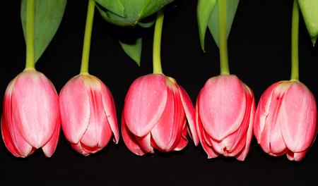 Beautiful five pink tulip flowers isolated on black background. Studio shot Banco de Imagens