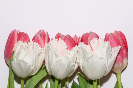 Beautiful pink and white tulip flowers isolated on white background. Studio shot