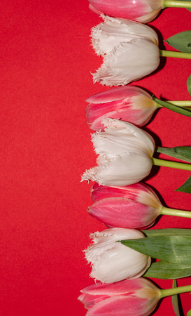 Beautiful pink and white tulip flowers isolated on red background. Studio shot