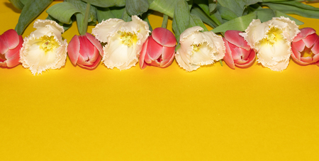 Beautiful pink and white tulip flowers isolated on yellow background. Studio shot Imagens