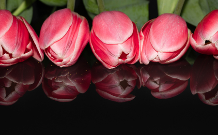 Beautiful pink tulip flower heads isolated on black reflected background. Studio shot Фото со стока