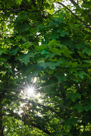 Background of fresh green leaves with the sunrays.