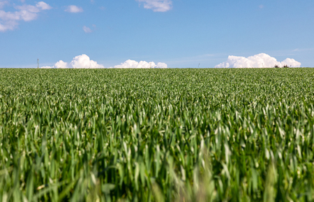 Growing wheat on a field. Beautiful landscape photography with green wheat field and blue sky.