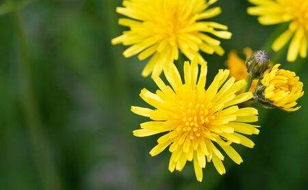 Beautiful yellow dandelion flowers on green blurred background. Macro photography