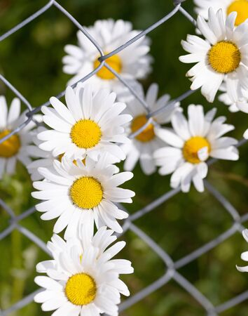 Daisies flowers growing through the chain link of the fence in the yard. Outdoor scene