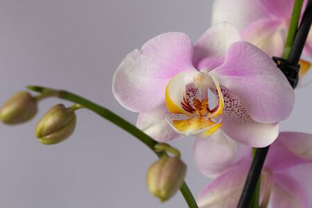 Beautiful pink orchid flowers isolated on a white background.