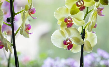 Beautiful yellow orchid flowers on a window Stock Photo