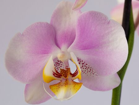 Beautiful pink orchid flowers isolated on a white background. Macro photography Stock Photo