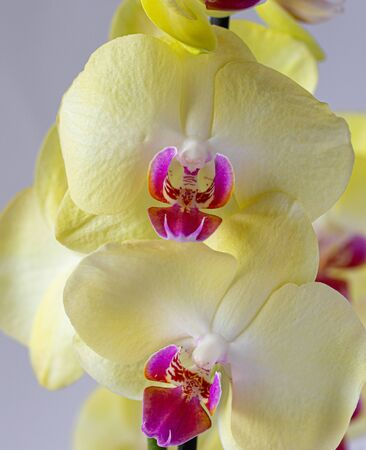Beautiful yellow orchid flowers isolated on a white background.