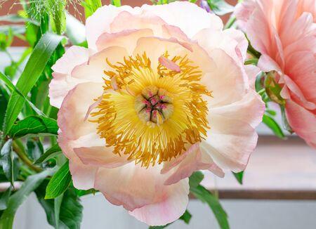 Cabeza de flor de peonía hermosa. Fotografía colorida y de naturaleza Foto de archivo