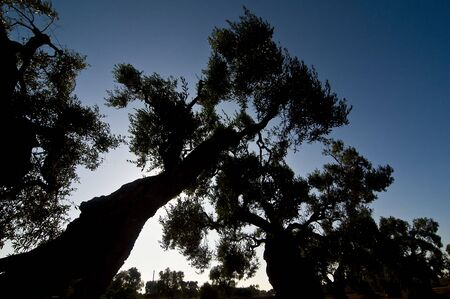 backlite: Backlite picture of olive trees  in Puglia Italy Stock Photo
