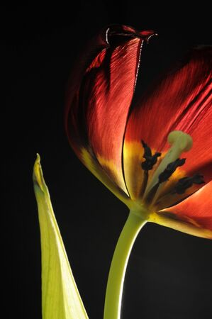 fading: Macro of fading isolated tulip