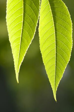 venation: Two green leaves photographed in sunshine backlite Stock Photo
