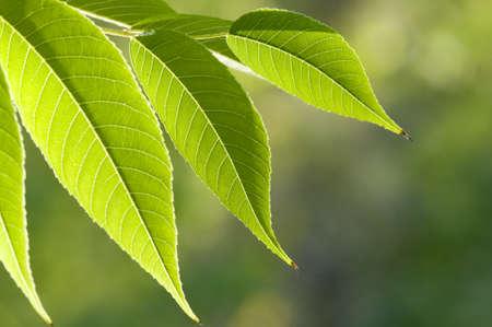 backlite: Green leaves photographed in sunshine backlite