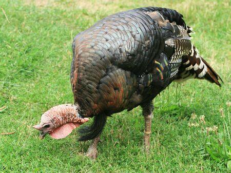 turkey hen: Cierre de Turqu�a gallina
