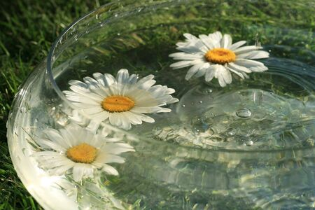daisys: Daisys blooms in the water