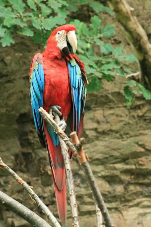 Red parrot on the branch Stock Photo - 3468058