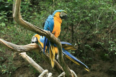 Two yellow parrots on the branch photo