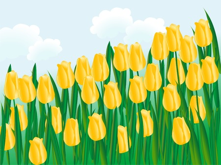Field of yellow tulips - vector illustration Vector