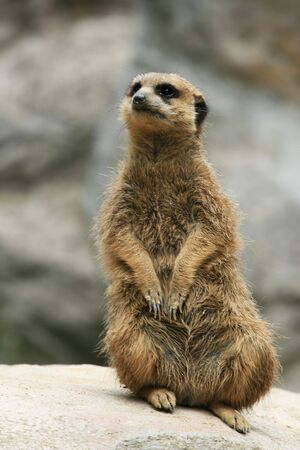 suricate: Suricate standing on a top of rock