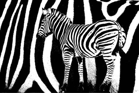 Zebra pattern - vector illustration