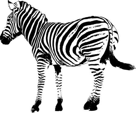 zebra stripes: Zebra pattern - vector illustration