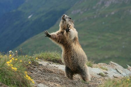 Detail of the marmot - photograph an der Grossglockner photo