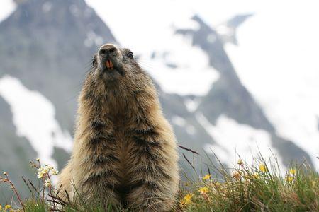 swish: Detail of the marmot - photograph an der Grossglockner