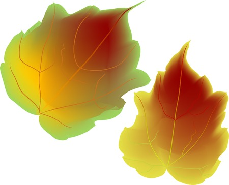 Two colorful autumn leaves - vector illustration Stock Vector - 5446667
