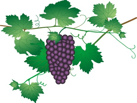 Bunch of grapes - vector illustration Stock Vector - 5446674