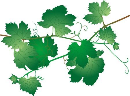 Green vine leaves - vector illustration Stock Vector - 5446671