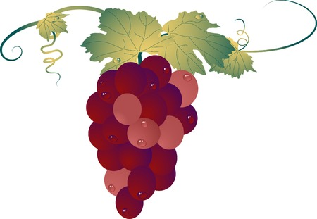Bunch of grapes with water drops Vector