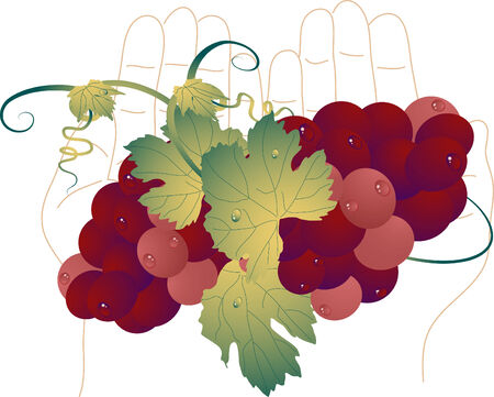 Bunch of grapes in palms Stock Vector - 5511209