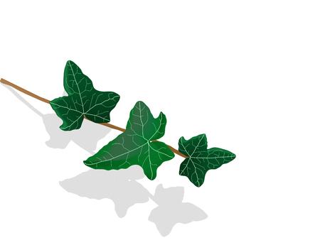 yedra: Hojas de hiedra verde - ilustraci�n vectorial Vectores